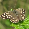 Speckled Wood butterfly, Knighton Spinney, Knighton Park, Leicester, 24 April 2004