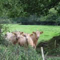Three silly cows, Cheldon, Devon, 14 September 2004