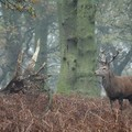 Stag in the woods, Bradgate Park, Leicester