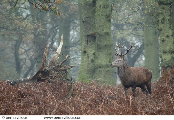 Stag in the woods: Bradgate Park, Leicester, 21 November 2004