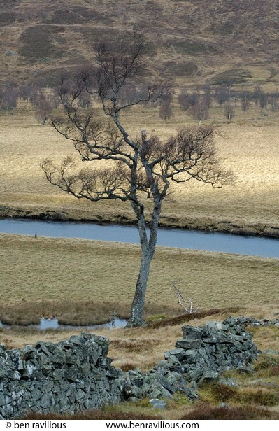 Birch Tree: Dee Valley, Braemar, Scotland, 29 December 2004
