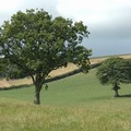Trees in a field, Chulmleigh, Devon, 20 August 2005